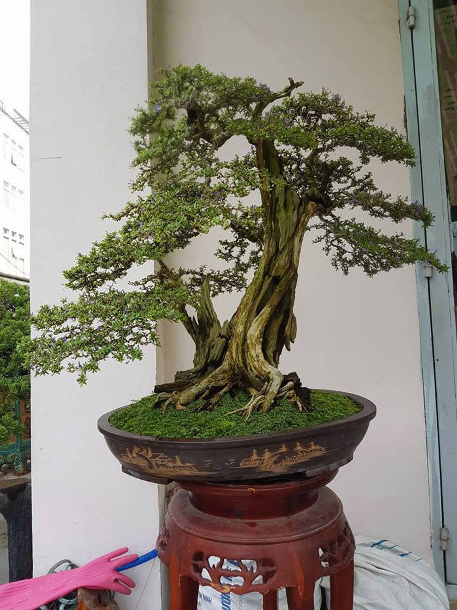 Natural bonsai tree Small 2