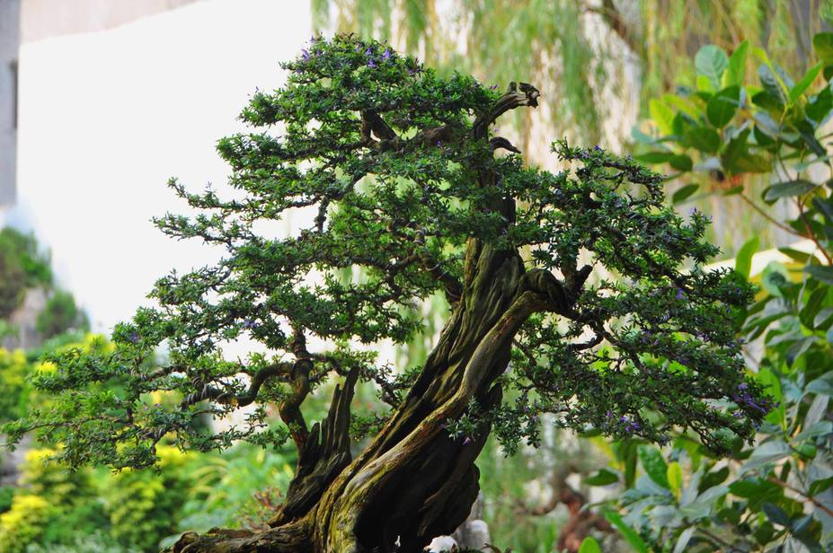 Natural bonsai tree Small 3