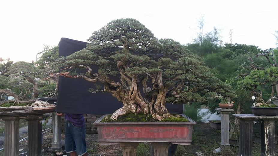 Big bonsai