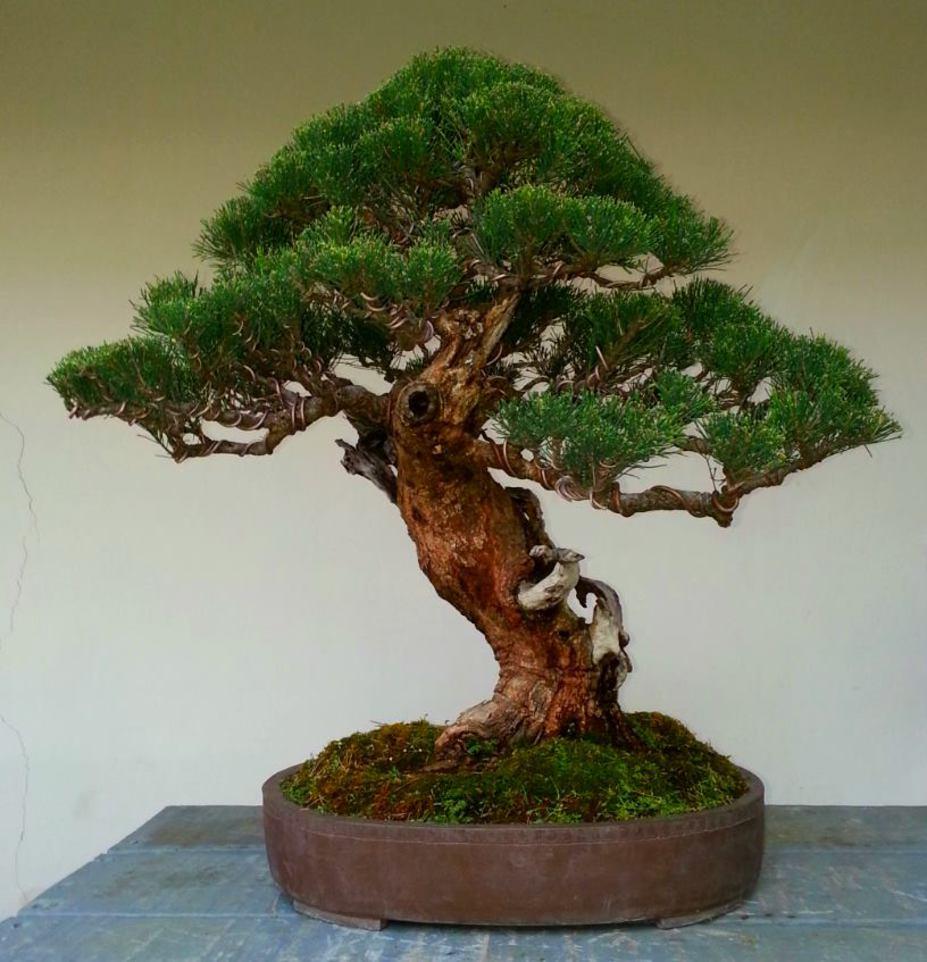 Bonsai : Casuarina equisetifolia tree