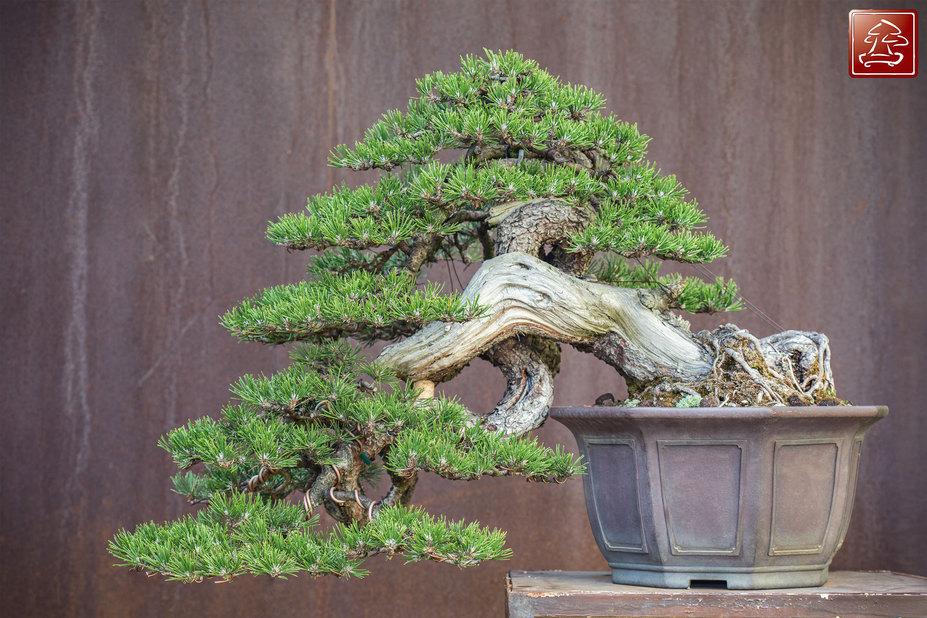 Bonsai Semi Cascade Style