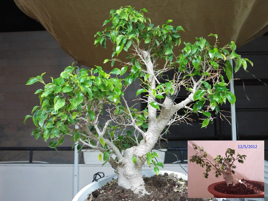 Ficus progression since 2010