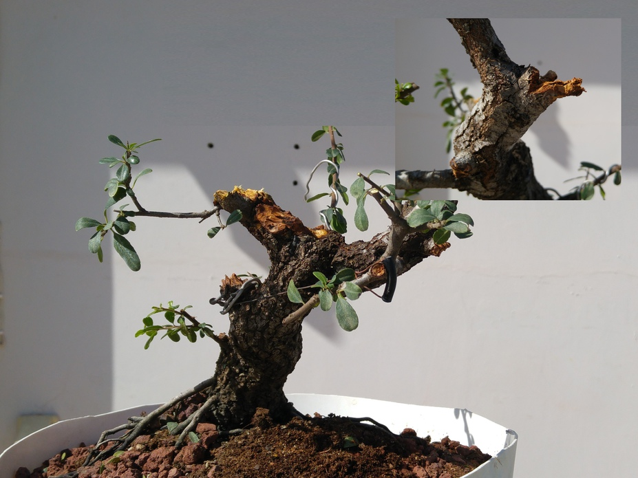 Carving a dead branch on a bonsai tree
