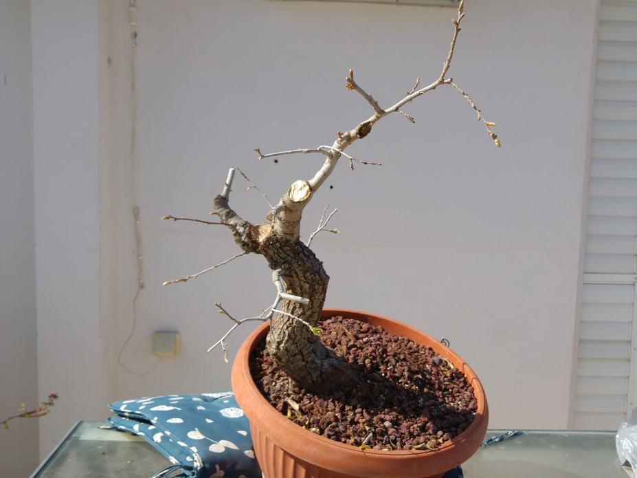 Quercus bonsai development since 2014