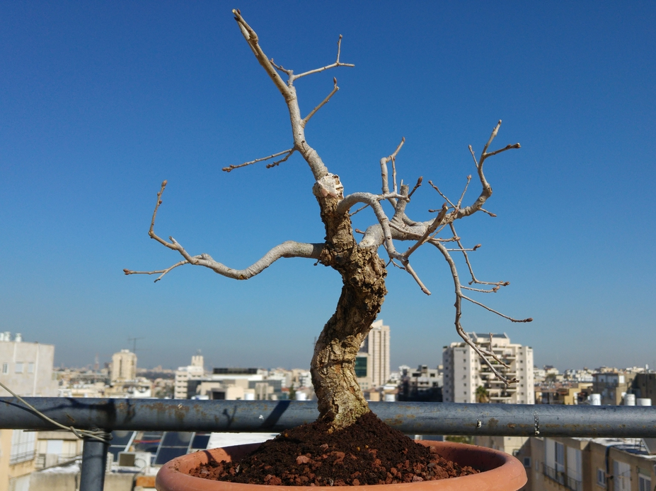 Yamadori oak bonsai since 2009