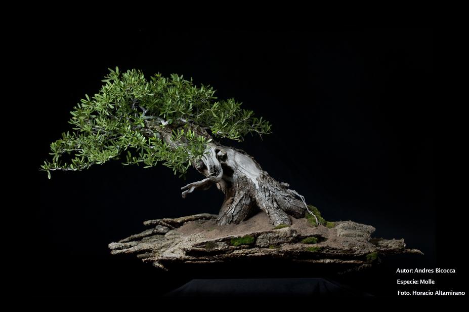 Bonsai : Molle tree (Schinus longifolius )