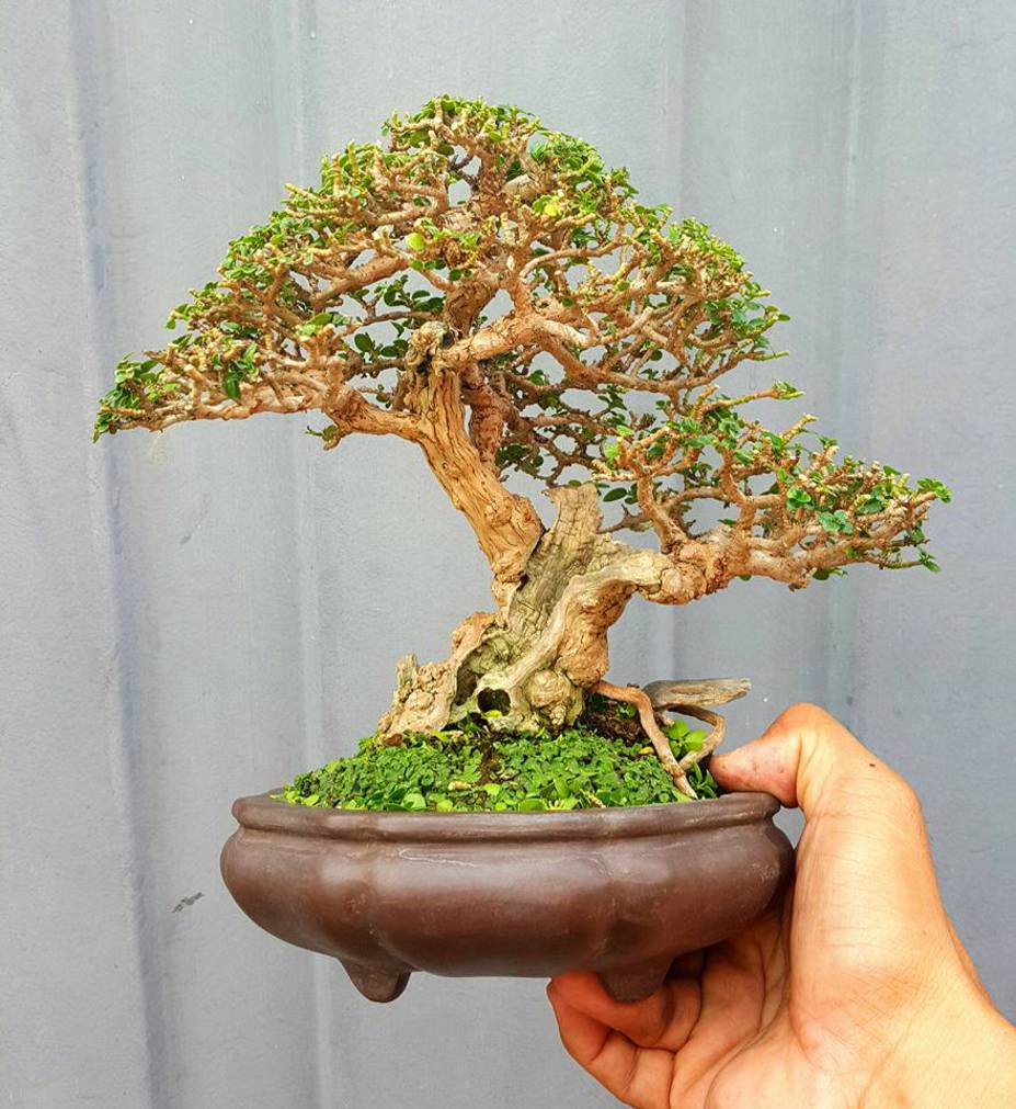 Miniscaping little mame bonsai by sonny luna for 1800 flowers bonsai