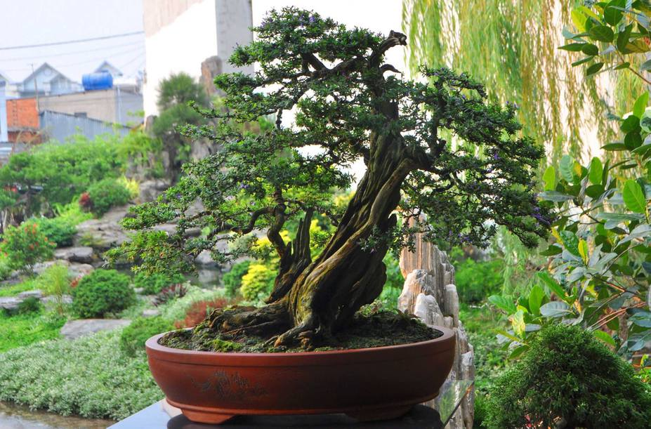 Natural bonsai tree Small